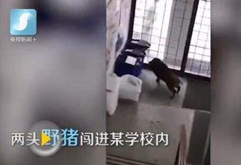 日本4只野猪闯进校园引骚动警方:已捕获2只野猪